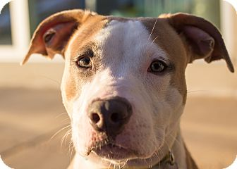 American Staffordshire Terrier Mix Dog for adoption in Grand Rapids, Michigan - Harlequin