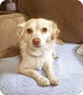 Spaniel (Unknown Type) Dog for adoption in Pittsburg, California - Lana Turner