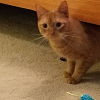 Domestic Shorthair Cat for adoption in Stafford, Virginia - Little Squirt
