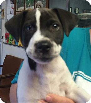 German Shorthaired Pointer Mix Puppy for adoption in Palmyra, Pennsylvania - Jacob