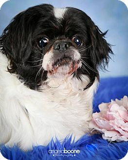 Pekingese Mix Dog for adoption in Inver Grove, Minnesota - Greta(PENDING)