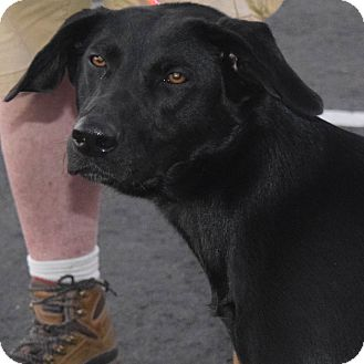 Labrador Retriever Mix Dog for adoption in Minneapolis, Minnesota - Jill