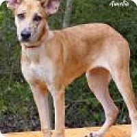 German Shepherd Dog/Catahoula Leopard Dog Mix Puppy for adoption in Tomball, Texas - Amelia