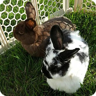 English Spot Mix for adoption in St. Louis Park, Minnesota - Scarlett and Ursala