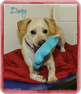 Labrador Retriever Mix Dog for adoption in Shippenville, Pennsylvania - Daisy
