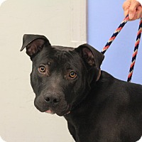 Labrador Retriever/American Pit Bull Terrier Mix Dog for adoption in Martinsville, Indiana - Carter