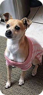Poway, CA - Italian Greyhound/Chihuahua Mix. Meet GINGER a ...
