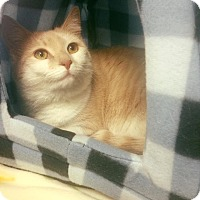 Adopt A Pet :: CREAM PUFF - Burlington, NC