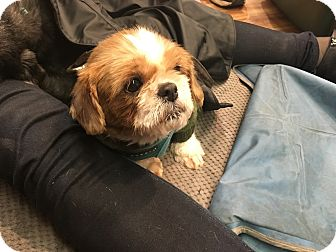 shih tzu rescue nyc new york ny shih tzu mix meet squirrel a dog for adoption 659