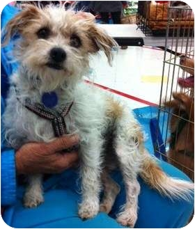 Terrier (Unknown Type, Small) Mix Dog for adoption in Studio City, California - Shasta