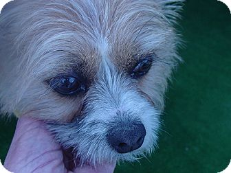 Wirehaired Fox Terrier/Yorkie, Yorkshire Terrier Mix Dog for adoption in Ogden, Utah - Iris