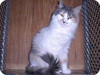 "Calico Cat for adoption in New Castle, Pennsylvania - "" Sugar """