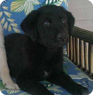 Labrador Retriever Mix Puppy for adoption in Largo, Florida - TINA