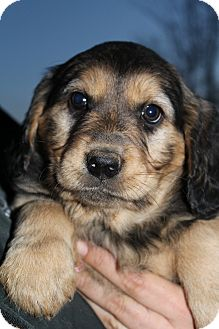 Golden Retriever/Rottweiler Mix Puppy for adoption in Bedminster, New Jersey - Martina McBride