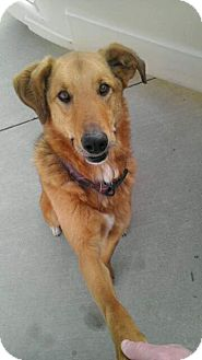 Golden Retriever/Shepherd (Unknown Type) Mix Dog for adoption in Staunton, Virginia - Max