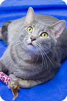 Domestic Shorthair Cat for adoption in Chicago, Illinois - Bud