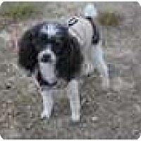 Adopt A Pet :: Little man - New Boston, NH
