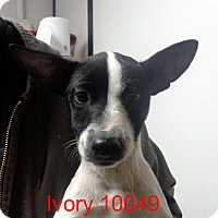 Adopt A Pet :: Ivory - baltimore, MD