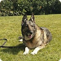 German Shepherd Dog Dog for adoption in Laguna Niguel, California - Ellie Mae