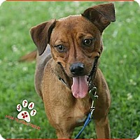 Adopt A Pet :: Amber - Jackson, TN