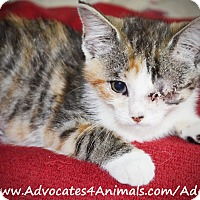 Adopt A Pet :: Summer - Xenia, OH