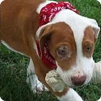 Adopt A Pet :: Seth - Normandy, TN