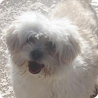 Adopt A Pet :: Loki - Henderson, NV