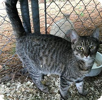 Domestic Shorthair Cat for adoption in Ocean Pines, Maryland - Becca