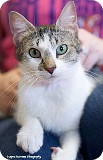 Domestic Shorthair Cat for adoption in Knoxville, Tennessee - Ariel