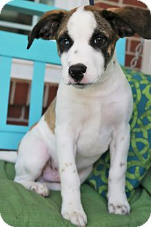 Labrador Retriever/Boxer Mix Puppy for adoption in Hagerstown, Maryland - Tatum