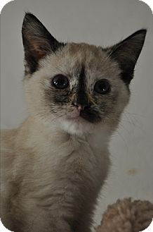 Siamese Kitten for adoption in La Canada Flintridge, California - Skippy