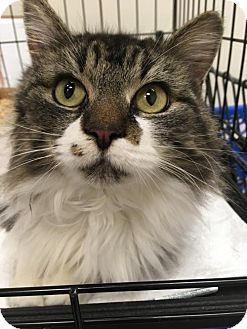Maine Coon Cat for adoption in Columbia, South Carolina - Maxine