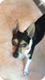 Toy Fox Terrier/Rat Terrier Mix Dog for adoption in Houston, Texas - Riker