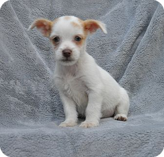 Terrier (Unknown Type, Small) Mix Puppy for adoption in Atlanta, Georgia - Casper