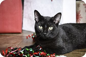 Domestic Shorthair Cat for adoption in Whitehall, Pennsylvania - Chip