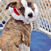 Adopt A Pet :: Pork Chop meet me 1/6 - Manchester, CT