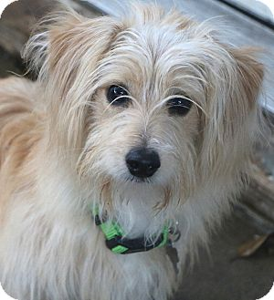 Terrier (Unknown Type, Small)/Maltese Mix Dog for adoption in Allentown, Pennsylvania - Travis