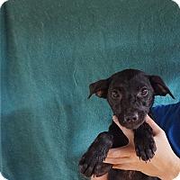 Adopt A Pet :: Pebbles - Oviedo, FL