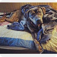 Adopt A Pet :: Nola - Bardonia, NY