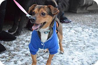 Chihuahua/Beagle Mix Dog for adoption in Norwalk, Connecticut - Nono ChiBea 13lbs