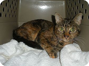 Domestic Shorthair Cat for adoption in Bayonne, New Jersey - Holly