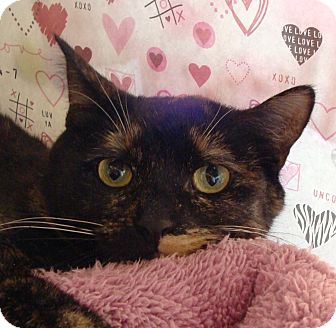 Domestic Shorthair Cat for adoption in Albany, New York - Kallie
