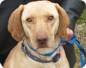Labrador Retriever Mix Dog for adoption in Plainfield, Connecticut - Lacie