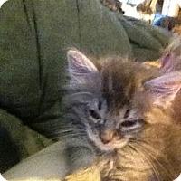 Adopt A Pet :: Cuddle Puff - Westfield, MA