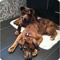 Adopt A Pet :: Breelee - Richmond, VA