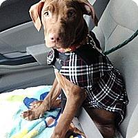 Adopt A Pet :: Bodi - Reisterstown, MD