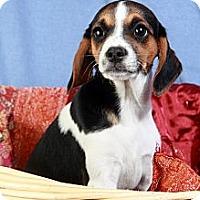 Adopt A Pet :: Brianna Beagle - St. Louis, MO