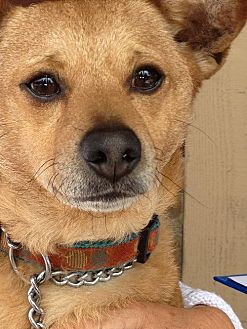 Shiba Inu Mix Dog for adoption in Midway City, California - Rudy