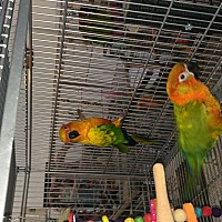 Conure for adoption in Punta Gorda, Florida - Brandy & Squeege