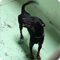 Adopt A Pet :: MinMin - Gadsden, AL